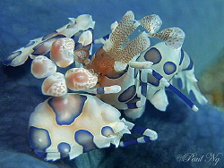 harlequin shrimp by Paul Ng 